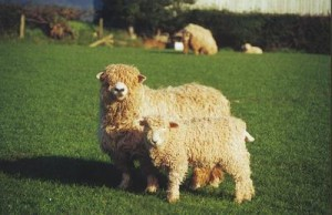 Devon-and-Cornwall-Longwool-lamb